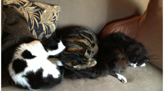 Our three cats in rare harmony